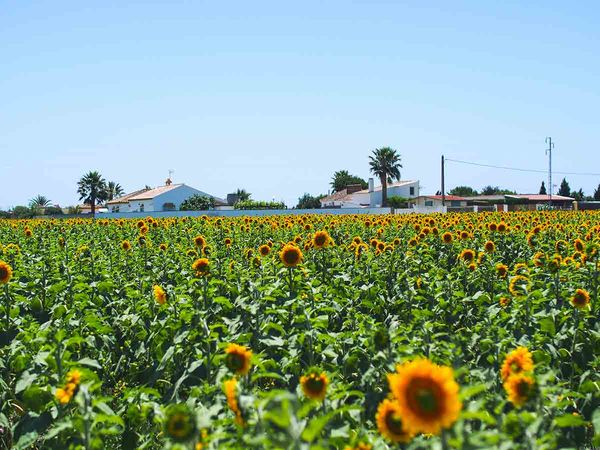 Sunflower fields around the A Frame Surfcamp Andalusia